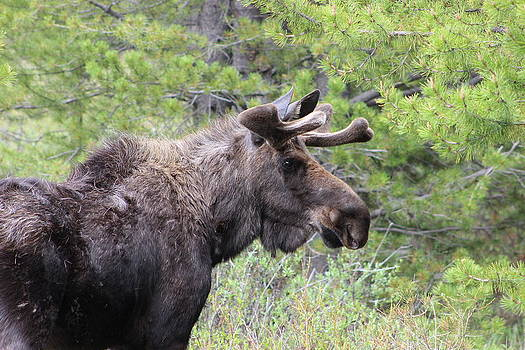 Young Male Moose by Kim Baker
