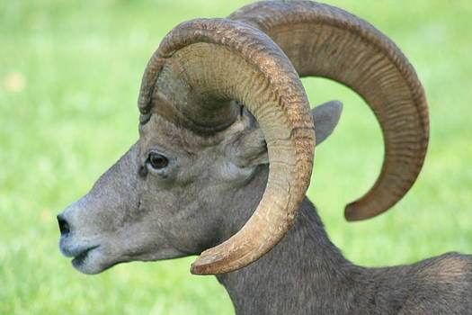 Ruth Edward Anderson - Young Male Wild Big Horn Sheep