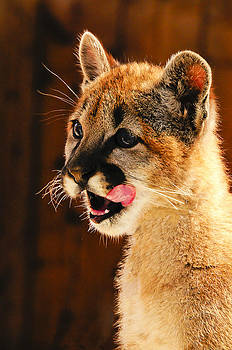 Young Mountain Lion by Bonnie Fink