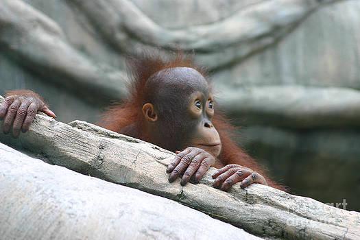 Young Orangutan by Sharon Dominick