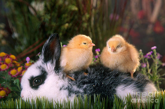 Alan and Sandy Carey - Young Rabbit With Baby Chicks