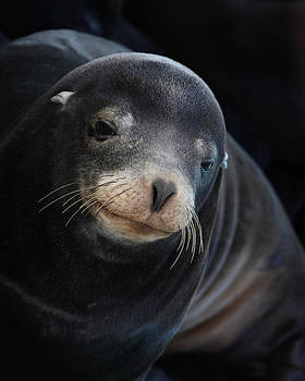 Young Sea Lion by Bob and Jan Shriner