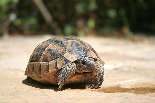 Tracey Harrington-Simpson - Young Tortoise Emerging From Its Shell