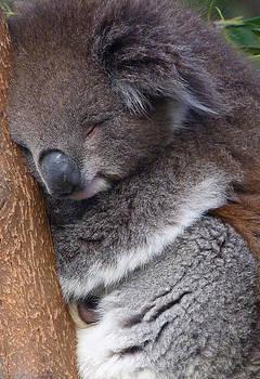 Margaret Saheed - Young Victorian Koala Snoozing