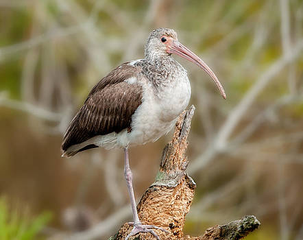 Lara Ellis - Young White Ibis