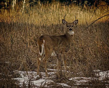 Ray Van Gundy - Young Whitetail Deer Buck