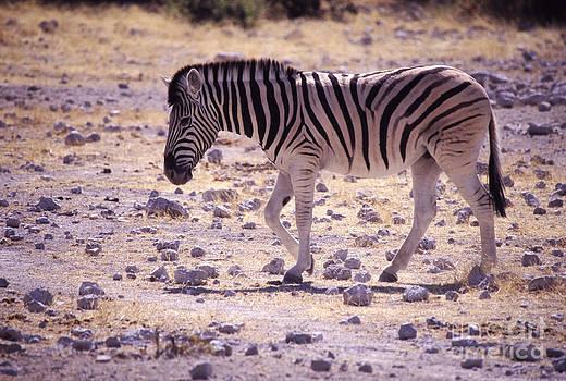 Young Zebra by Rosemary Calvert