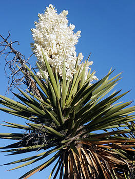 Yucca Flower by Laurie Poetschke