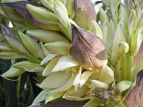 Yucca Flowers I by Claire Plowman