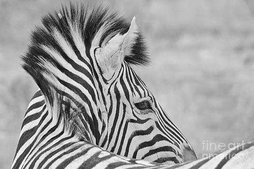 Zebra - Portrait of Stripes by Hermanus A Alberts