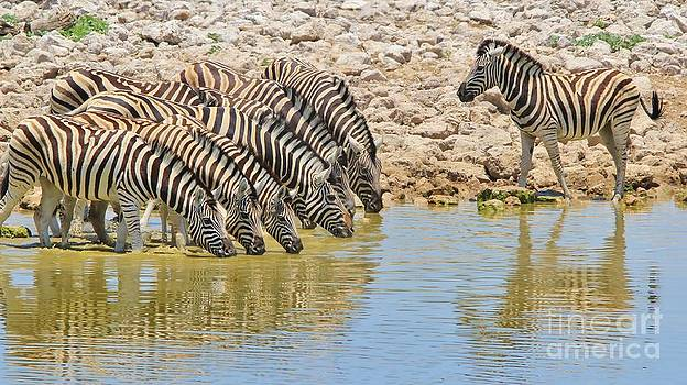 Hermanus A Alberts - Zebra - Water is Life