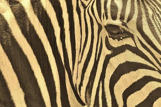 Hermanus A Alberts - Zebra Art