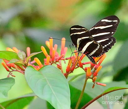 Wayne Nielsen - Zebra Butterfly Tongue Sips Nectar from Orange Flower