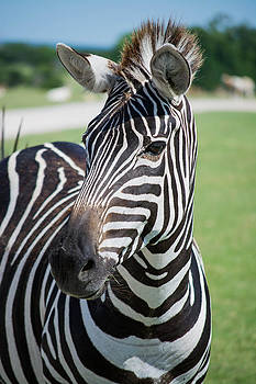 Zebra Close Up by Jason Brow