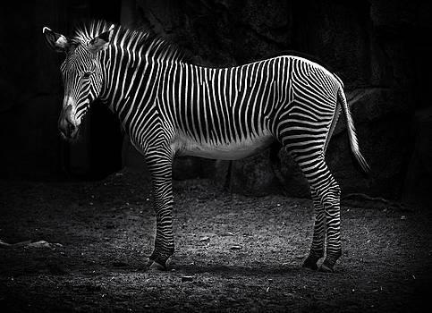 Zebra Spotlight by D Plinth