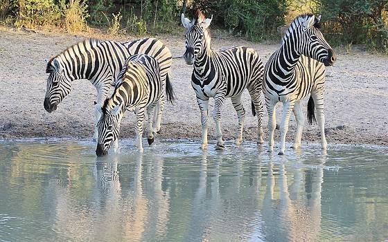 Hermanus A Alberts - Zebra Dusk