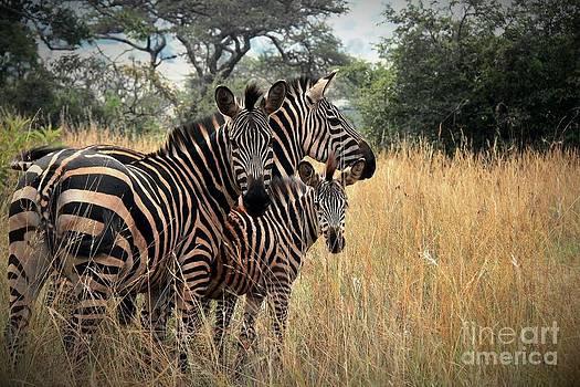 Zebra Family by David Gardener