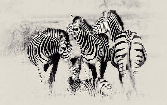 Zebra foursome by Christa Niederer