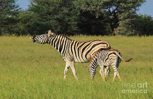 Hermanus A Alberts - Zebra Fun and Beautiful Nature