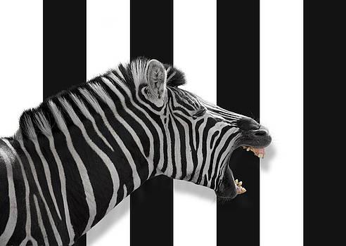 Zebra by Gillian Dernie