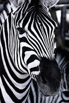 Zebra by Goyo Ambrosio