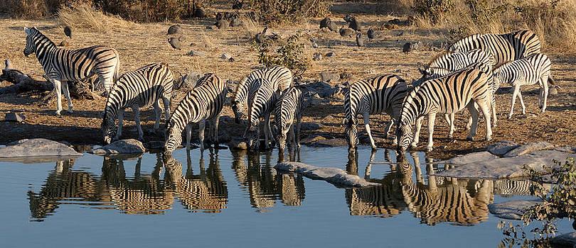 Zebra herd drinking water at the Okaukeujo waterhole by Grobler Du Preez