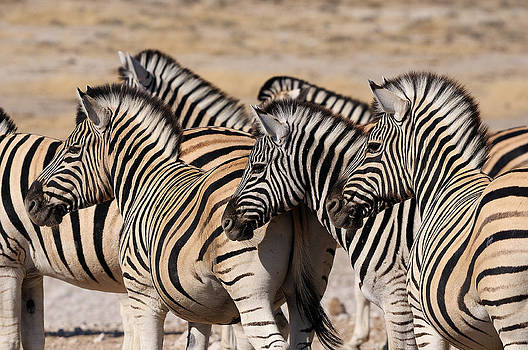 Zebra herd by Grobler Du Preez