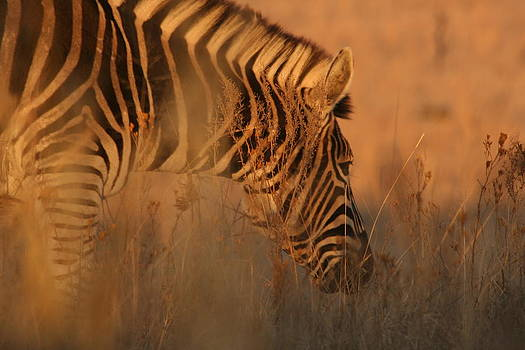 Zebra in the early winter light by Anita Engelbrecht
