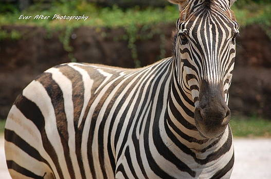 Zebra by Jade Thomas