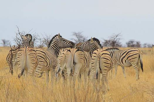 Hermanus A Alberts - Zebra Kisses