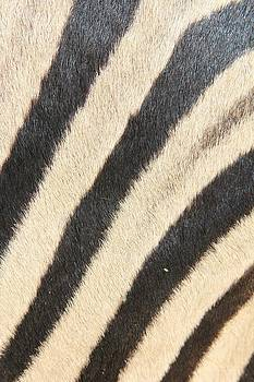 Hermanus A Alberts - Zebra Lines