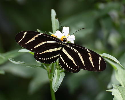 Erin Tucker - Zebra Longwing Butterfly