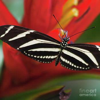 Heiko Koehrer-Wagner - Zebra longwing butterfly