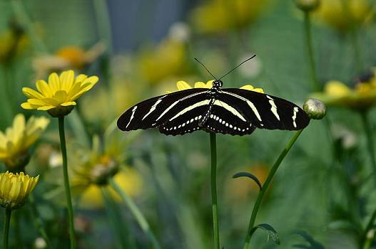 Zebra Longwing Butterfly by Rita Mueller