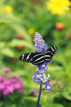Laurie Perry - Zebra Longwing