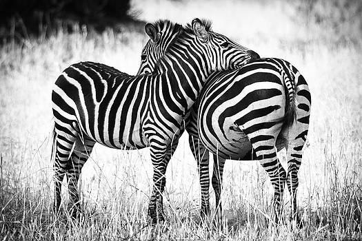 Zebra Love by Adam Romanowicz