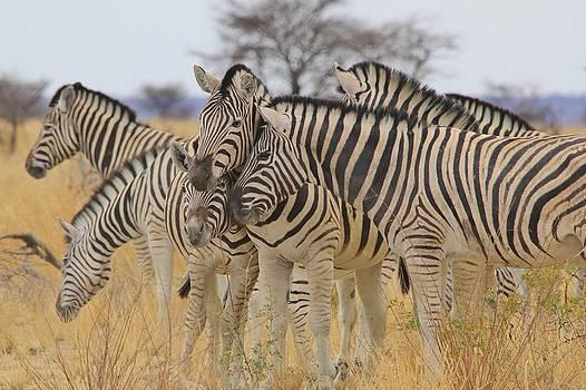 Hermanus A Alberts - Zebra Love