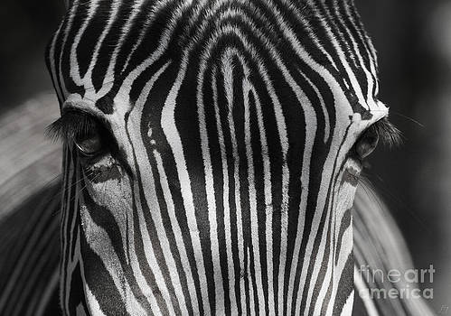Zebra by Lynn Jackson