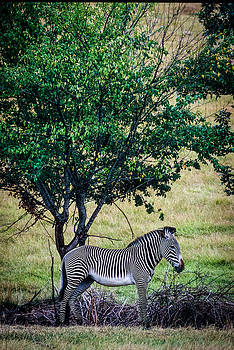 Mike Penney - Zebra