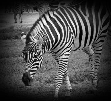 MTBobbins Photography - Zebra