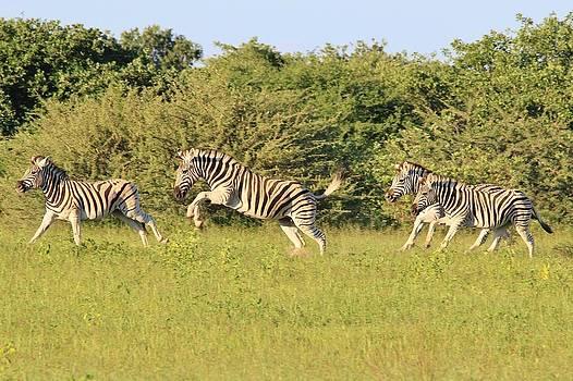 Hermanus A Alberts - Zebra Power and Speed