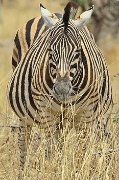 Hermanus A Alberts - Zebra Pregnant Mare