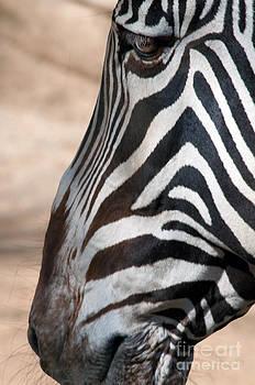 Zebra Profile by Dan Holm