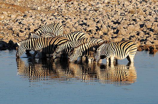 Zebra reflection by Grobler Du Preez