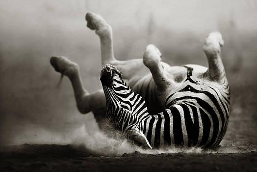 Zebra rolling by Johan Swanepoel