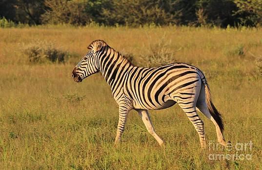 Hermanus A Alberts - Zebra Run of Stripes