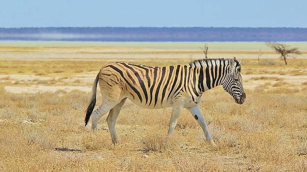 Hermanus A Alberts - Zebra Solitude