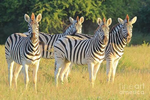 Hermanus A Alberts - Zebra Stare of Stripes