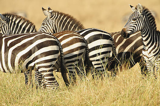 Zebra Stripes by Phyllis Peterson