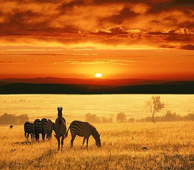 Zebra sunset by Nicole Champion
